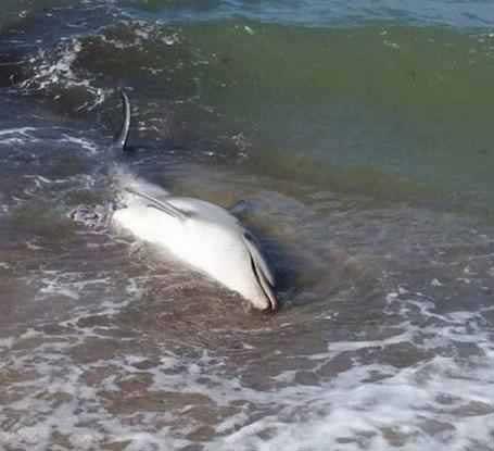 delfininekro