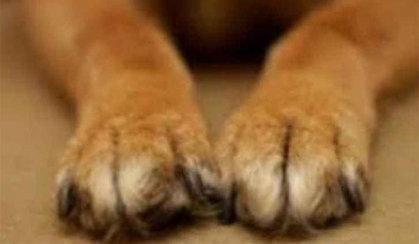 dogfoot